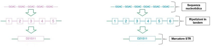 Sequenza nucleotidica del marcatore STR