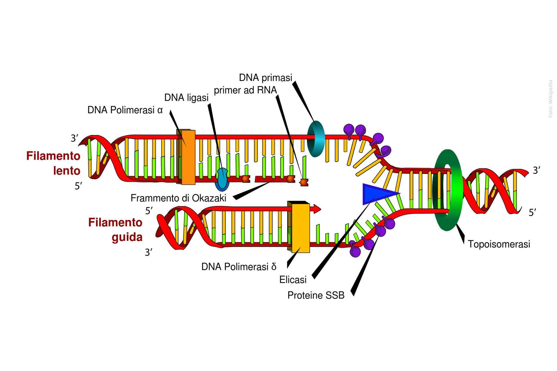 Definizione di DNA-polimerasi